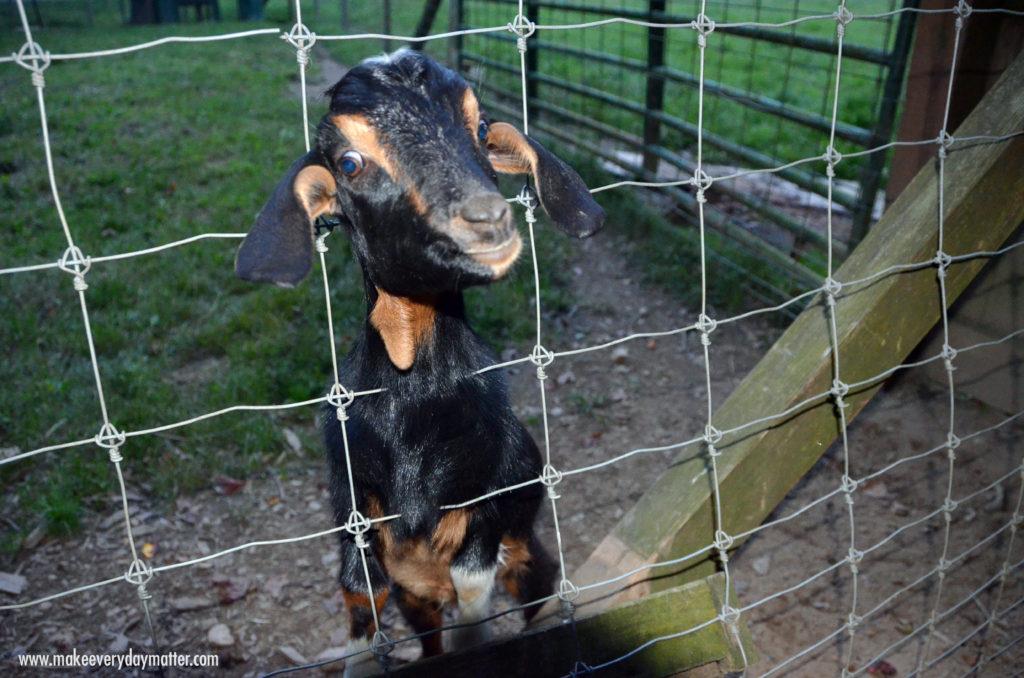 Goat Enota 1 watermark