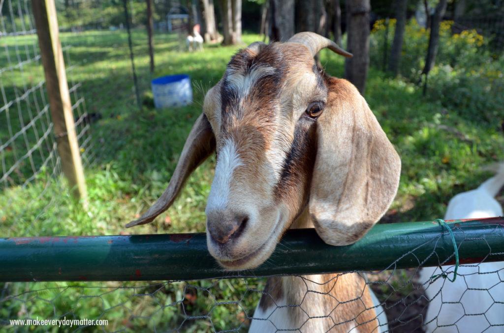 Goat Enota 2 watermark
